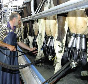 FRS Operator Milking Cows in Milking Parlour