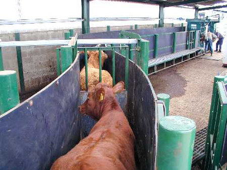 stokbord image with cattle