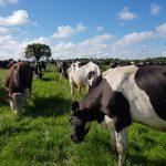 livestock-dangers-bull