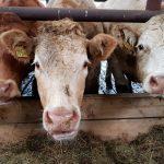 winter-housing-cows