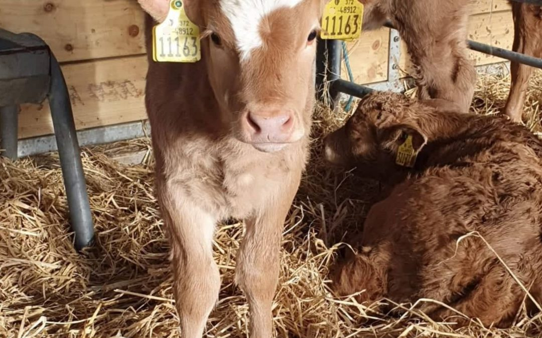 Take Time To Prepare Your Calving Essentials
