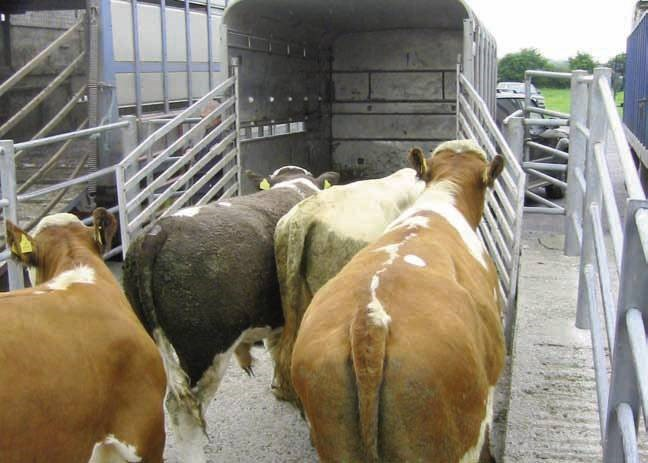 Tips for Loading and Unloading Cattle
