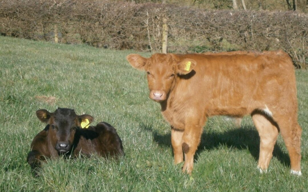 Plan Castration For Bulls Under 6 Months