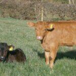 castrate-bull-calves